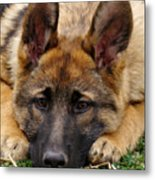 Sable German Shepherd Puppy Metal Print by Sandy Keeton