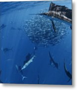 Sailfish Drive Their Prey Metal Print by Paul Nicklen