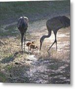 Sandhill Crane Family In Morning Sunshine Metal Print by Carol Groenen