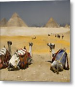 Scenic View Of The Giza Pyramids With Sitting Camels Metal Print by David Smith