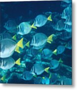 School Of Surgeonfish Cruising Reef Metal Print by James Forte