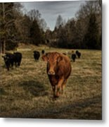 Scotopic Vision 9 - Cows Come Home Metal Print by Pete Hellmann