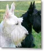 Scottish Terrier Dogs Metal Print by Jennie Marie Schell