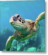 Sea Turtle, Hawaii Metal Print by Monica and Michael Sweet