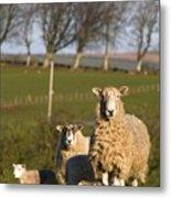 Sheep, Lake District, Cumbria, England Metal Print by John Short