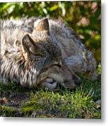 Sleeping Timber Wolf Metal Print by Michael Cummings