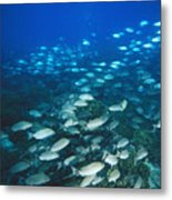 Spotted Grunt And Herring Fish Swimming Metal Print by James Forte