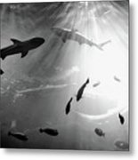 Squales Fish Metal Print by Xamah Image