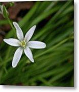 Star Of Bethlehem Flower Metal Print by Brent Parks
