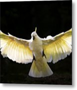 Sulphur Crested Cockatoo In Flight Metal Print by Avalon Fine Art Photography