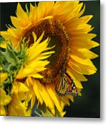 Sunflower And Monarch 3 Metal Print by Edward Sobuta