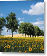 Sunflower Field 2 Metal Print by SK Pfphotography