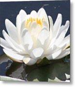 Sunlight On Water Lily Metal Print by Carol Groenen