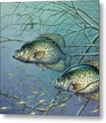 Tangled Cover Crappie II Metal Print by Jon Q Wright