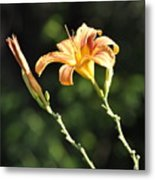 Tasmania Day Lily Metal Print by Penny Neimiller