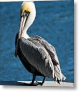 The Pelican Metal Print by Steven Gray