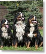 Three Bernese Mountain Dog Portrait Metal Print by Waldek Dabrowski