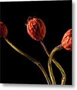 Three Rose Hips Metal Print by  Onyonet  Photo Studios