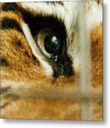 Tiger Behind Bars Metal Print by Melody Watson