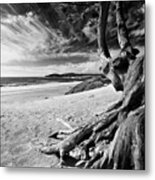 Tree Roots Carmel Beach Metal Print by George Oze