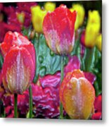 Tulip Candy Metal Print by Don  Wright