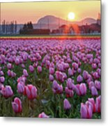 Tulip Field At Sunset Metal Print by Davidnguyenphotos