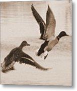 Two Winter Ducks In Flight Metal Print by Carol Groenen