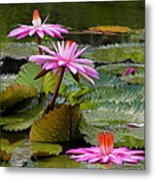 Water Lillies-st Lucia Metal Print by Chester Williams
