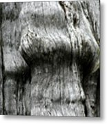 Western Red Cedar - Thuja Plicata - Olympic National Park Wa Metal Print by Christine Till
