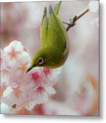 White-eye And Cherry Blossoms Metal Print by I love Photo and Apple.