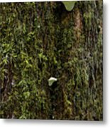 White Mushrooms - Quinault Temperate Rain Forest - Olympic Peninsula Wa Metal Print by Christine Till
