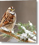 White Throated Sparrow Metal Print by Alan Lenk