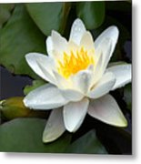 White Water Lily And Bud Metal Print by Susan Isakson