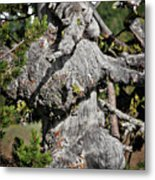 Whitebark Pine Tree - Iconic Endangered Keystone Species Metal Print by Christine Till