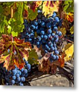 Wine Grapes Napa Valley Metal Print by Garry Gay