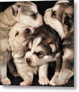 Wolf Pups Metal Print by Rich Beer