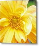 Yellow Dahlia Metal Print by Kathy Yates