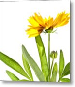 Yellow Daisy Isolated Against White Metal Print by Sandra Cunningham