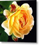 Yellow Rose Metal Print by Paul  Trunk