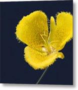 Yellow Star Tulip - Calochortus Monophyllus Metal Print by Christine Till
