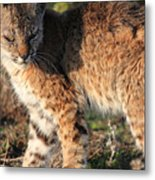 Young Bobcat 01 Metal Print by Wingsdomain Art and Photography