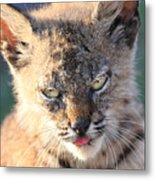 Young Bobcat 04 Metal Print by Wingsdomain Art and Photography