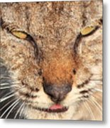 Young Bobcat Portrait 01 Metal Print by Wingsdomain Art and Photography