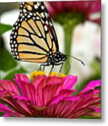 Zinnia Rose And Monarch Metal Print by Steve Augustin