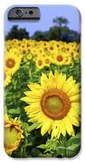Sunflower field iPhone Case by Elena Elisseeva