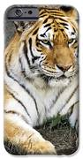Amur Tiger iPhone Case by Adam Romanowicz