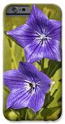 Balloon Flower iPhone Case by Marcia Colelli