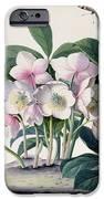 Christmas Rose iPhone Case by Georg Dionysius Ehret