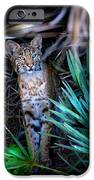 Curious Bobcat iPhone Case by Mark Andrew Thomas