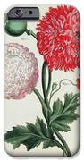 Poppy iPhone Case by Basilius Besler